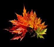 Japanese maple leaves. Isolated on black, clipping path Stock Photography