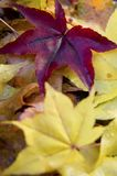 Japanese maple leaves. Red and yellow fallen Japanese maple leaves Royalty Free Stock Photos