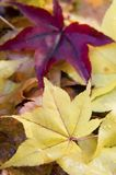Japanese maple leaves. Red and yellow fallen Japanese maple leaves Royalty Free Stock Photo