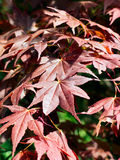 Japanese maple leaves Royalty Free Stock Photography