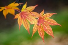 Japanese Maple leaves. Golden Japanese maple leaves shot in fall with green background Royalty Free Stock Photo