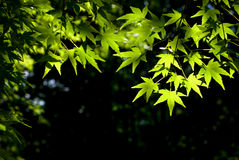 Japanese maple leaves. The sunlight shining through the fresh green Japanese maple leaves Stock Photos