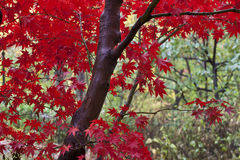 Japanese Maple leaves Stock Images