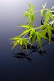 Japanese maple leaves. Japanese young maple on black background Stock Photo