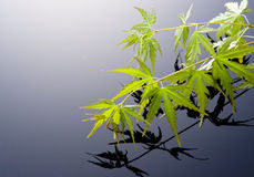 Japanese maple leaves. Japanese young maple on black background Royalty Free Stock Images