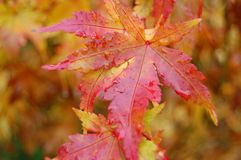 Japanese maple leaves. Closeup of colorful Japanese maple leaves stock images