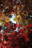 Japanese Maple leaves Stock Image