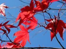 Free Japanese Maple Leaves Royalty Free Stock Image - 443986