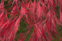 Japanese Maple Leaves. Beautiful red leaves on a Japanese Maple.  A great sign of autumn Stock Image