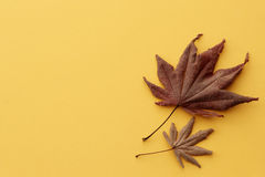 Japanese maple leaves in autumn Stock Image