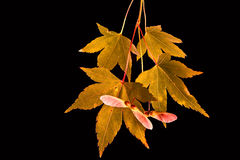 Japanese maple leaves autumn colors isolated Royalty Free Stock Photography
