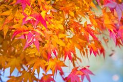 Japanese maple leaves in autumn Royalty Free Stock Photos