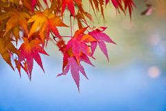 Japanese maple leaves in autumn Stock Photography