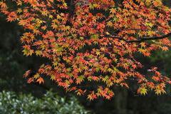 Japanese Maple leaves in Autumn Royalty Free Stock Images