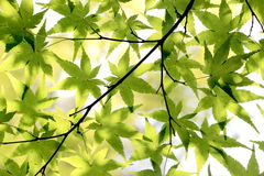 Japanese Maple Leaves Background Royalty Free Stock Photography