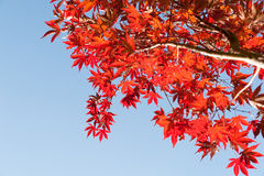 Japanese maple leaves bright red autumn coloration against blue Royalty Free Stock Images