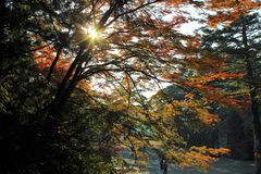 Changing colors of Japanese Maple in fall Royalty Free Stock Photo