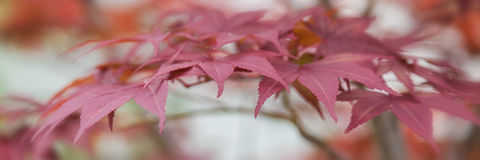Japanese Maple Leaves Stock Photography