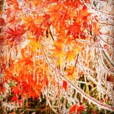Japanese maple leaves covered in ice. Bright orange Japanese maple leaves covered in ice after the freezing rain storm Stock Photos