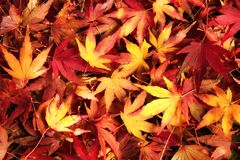 Japanese maple leaves in dreamy warm colors Royalty Free Stock Photos