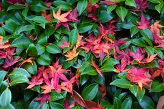 Japanese maple leaves on a mossy green area. stock photography
