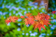 Japanese Maple leaves on a green background Royalty Free Stock Photos