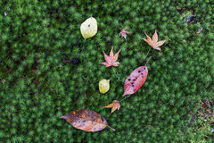 Japanese maple leaves on green mos Stock Photo