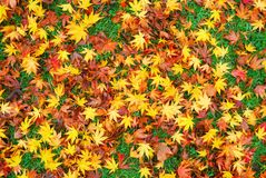 Japanese maple leaves on the ground Stock Photo
