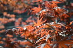 Japanese Maple leaves. I loved wondering through the gardens filled with the Maple trees Stock Photography