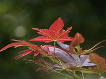 Japanese Maple Leaves. This is an image of a Japanese maple leaf maturing to its signature deep red color. This was taken in the Southeastern US Royalty Free Stock Images