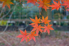 Japanese maple leaves (koyo) Stock Photos