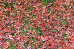 Japanese Maple Leaves on Mossy Ground in Autumn Season Stock Images