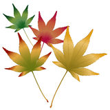 Japanese Maple leaves vector. Set of Japanese Maple leaves, vector illustration Stock Images