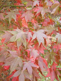 Japanese maple Osakazuki. Japanese maple 'Osakazuki' variety in autumn colour Stock Photography