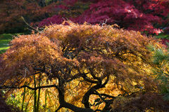 Japanese Maple Red Leaves Fall Colors Royalty Free Stock Photos