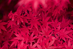 Japanese Maple red leaves. Fresh Japanese Maple red leaves close-up background royalty free stock images