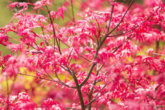 Japanese Maple red leaves. Royalty Free Stock Photography