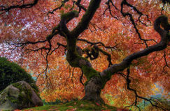 Japanese Maple Tree. At Portland Japanese Garden in Autumn