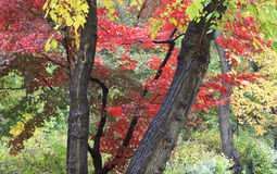 Japanese maple tree Stock Photos