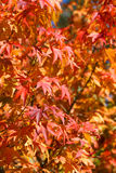 Japanese Maple Tree. Japanese Maple leaves, swallow depth of field Royalty Free Stock Images