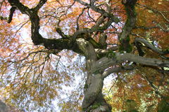 Japanese Maple Tree. A magnificent Japanese maple tree Stock Image
