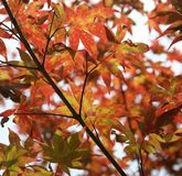 Japanese Maple tree. Leaves background royalty free stock photos