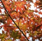 Japanese Maple tree. Leaves background Royalty Free Stock Photos