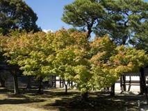 Japanese maple tree royalty free stock photography