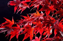 Japanese maple tree  (Acer palmatum) on black Royalty Free Stock Photo