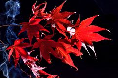 Japanese maple tree  (Acer palmatum) on black Stock Photos