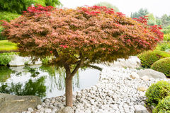 Japanese maple tree Stock Photo