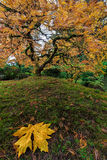 The Japanese Maple Tree in Autumn 2016 Royalty Free Stock Photos