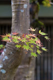 Japanese maple tree during autumn in Kyoto, Japan Stock Photos