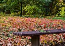 Free Japanese Maple Tree Autumn Leaves Stock Image - 109209131
